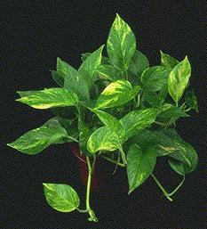 golden pothos excellent in cleaning indoor air