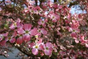 Flowering Dogwood Pink