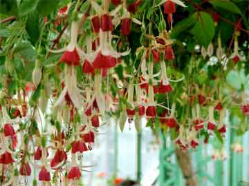 a parade of fuchsia color with hanging flowers