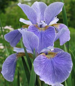Iris Bulbs For Color Foliage And Blooms