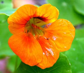 orange flowered nasturtium