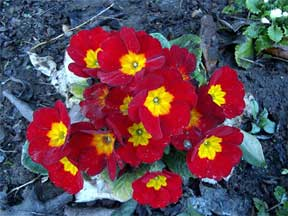 Primroses You Too Can Grow Them