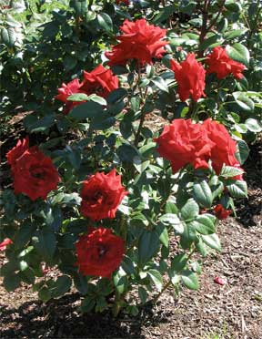 Knockout roses bushes protecting their beauty - Planting rose shrub step ...