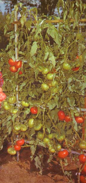 staked group of tree tomato