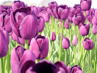 Tulip Flower Picture on Tulip Flowers The Glory Of Bulbs