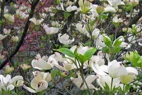white dogwood tree in flower